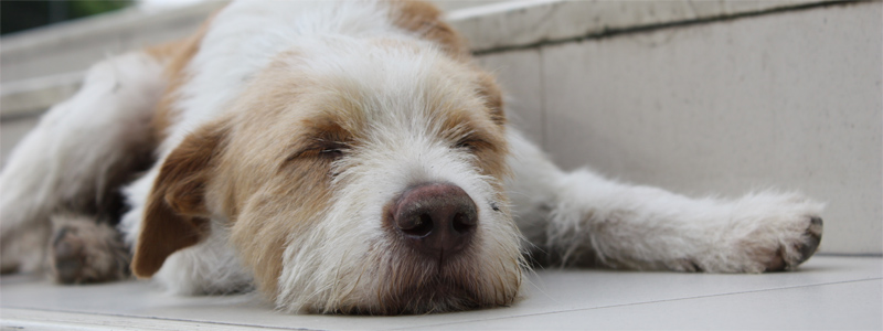 A Dog's Life in Chiang Mai