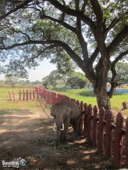 Bull elephant chained at the Elephant Kraal in Ayuthaya, Thailand
