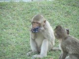 Monkey in Lopburi with stolen hairclip