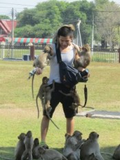 Monkeys jumping on a tourist in Lopburi, Thailand