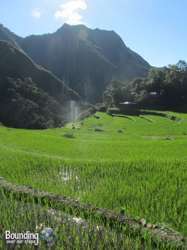 Young rice in a paddy of the Banaue Rice Terraces