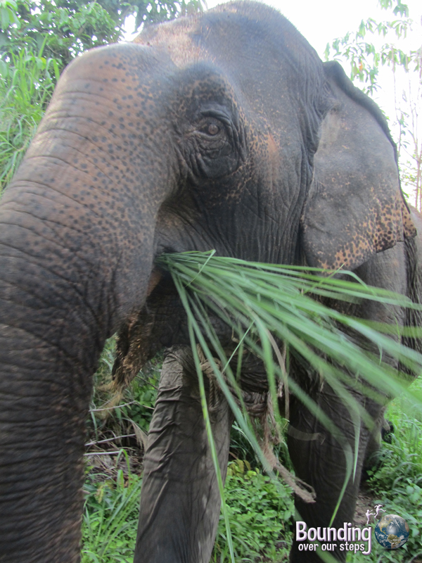 A close-up look at Kham Lin eating tall grasses on her elephant walk