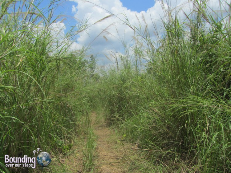 The elephant walk trail started through tall grasses