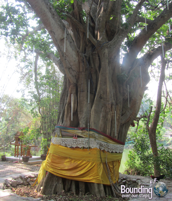 A blessed tree at Wat Umong in Chiang Mai, Thailand