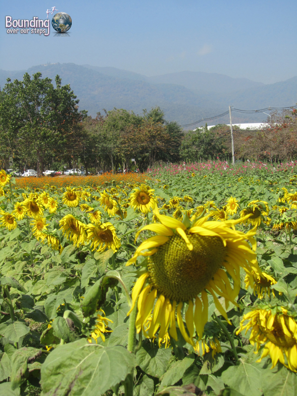 Sunflowers in bloom at Chiang Mai Unversity