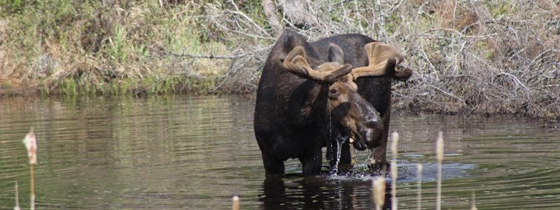 Male moose sighting