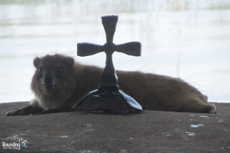 A rock hyrax at the Sea of Galilee