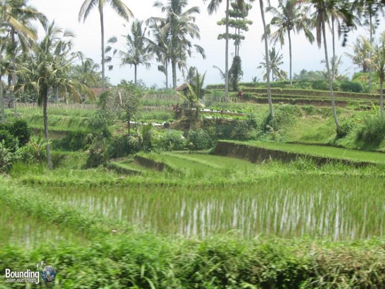 Singaraja to Ubud in a Fruit Truck - Rice Terraces
