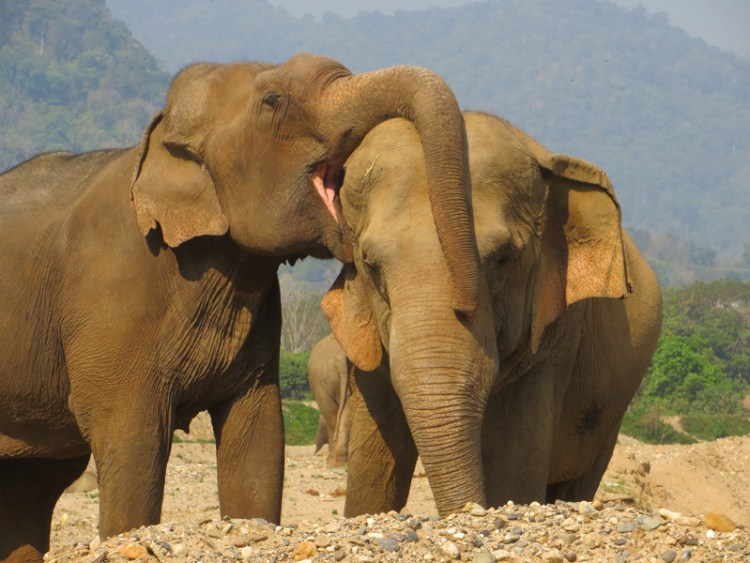 Elephant Lesbians - Tilly and Mae Kham Puan - Trunk Draping