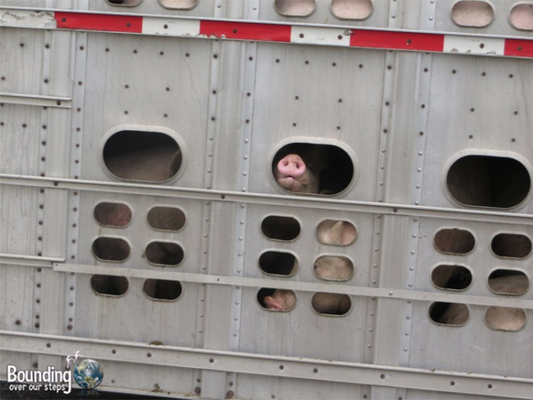 Visiting a Slaughterhouse - Pigs on Truck
