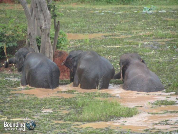 Surin Project - 3 Elephants in Water