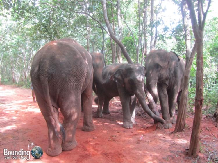 Surin Project - Elephants Interacting