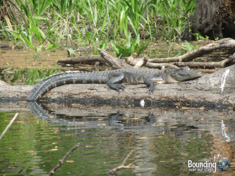 Canoeing Hillsborough River - Alligator on Log