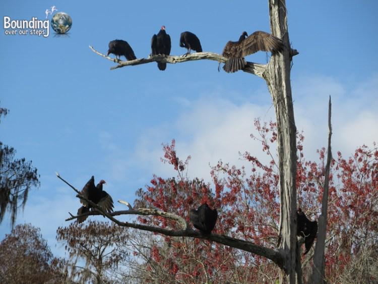 Canoeing Hillsborough River - Vultures
