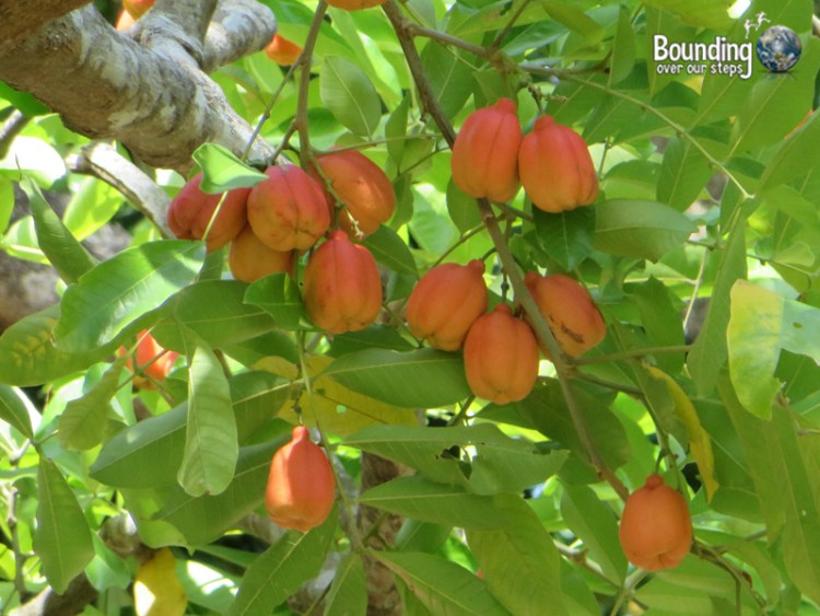 Vegan in Jamaica - Ackee tree in our backyard