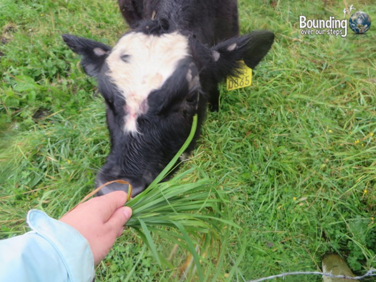 One brave cow came over to me and touched her nose to my hand