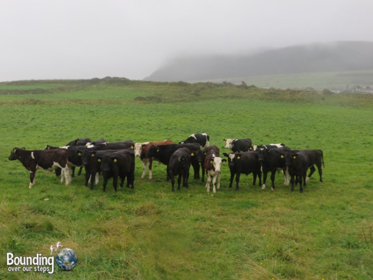 Cows gathered and came closer