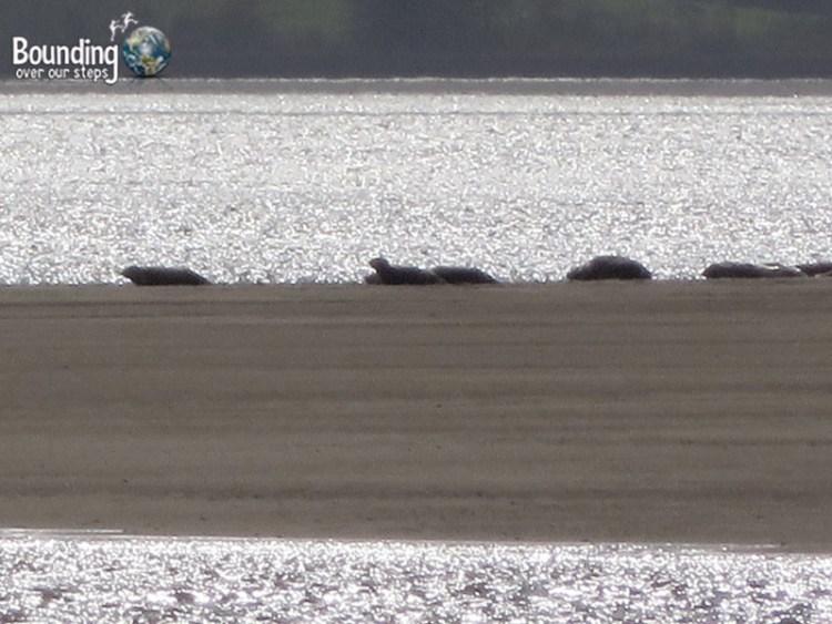 Seals off the coast of Cullenamore Beach