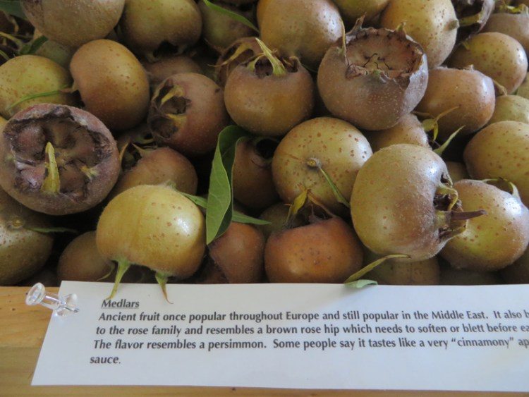 Apple Tasting in Vermont - Medlars