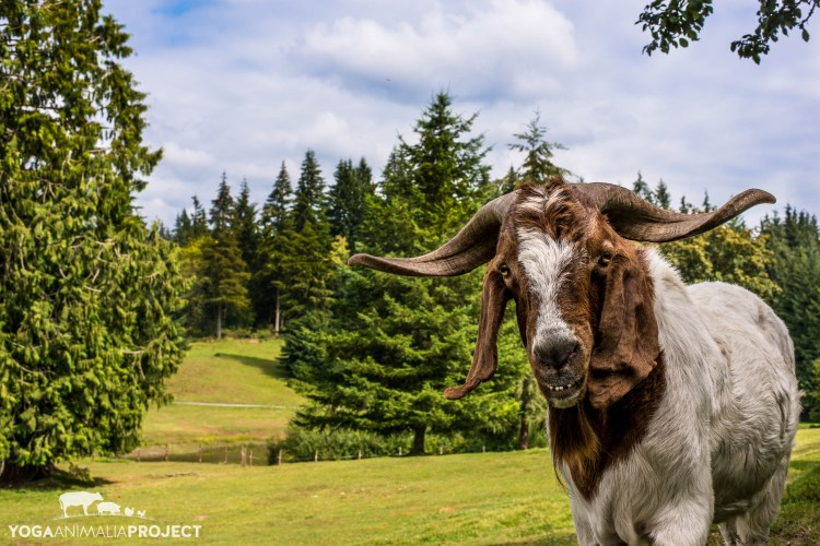 Jake, New Moon Farm Goat Rescue _ Sanctuary