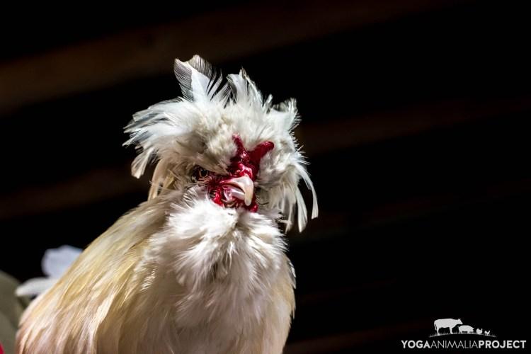 Obie, Chicken Run Rescue