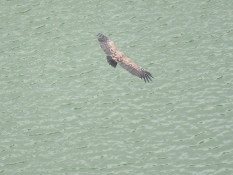 Uvac River Hike - Griffon vulture in the Uvac Special Nature Reserve