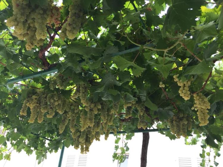 Vegan in Croatia - Hanging Grapes