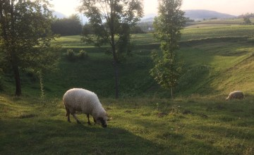 Vegan in Croatia - Sheep