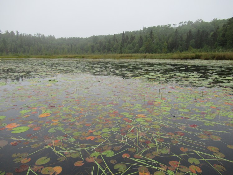 Colorful lily pads in the Boundary Waters Canoe Area (BWCA)