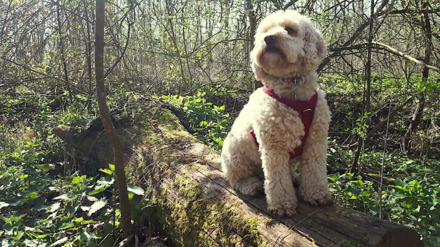Lucy our Cockerpoo
