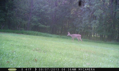 4 Point in food plot 9/6/13