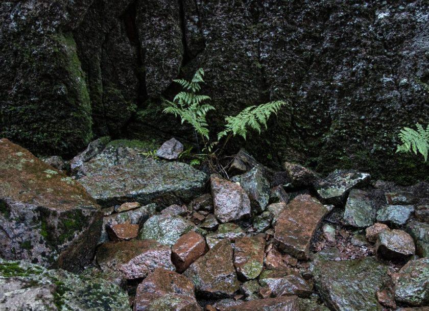 Ormbunkar har funnits i 450 miljoner år.