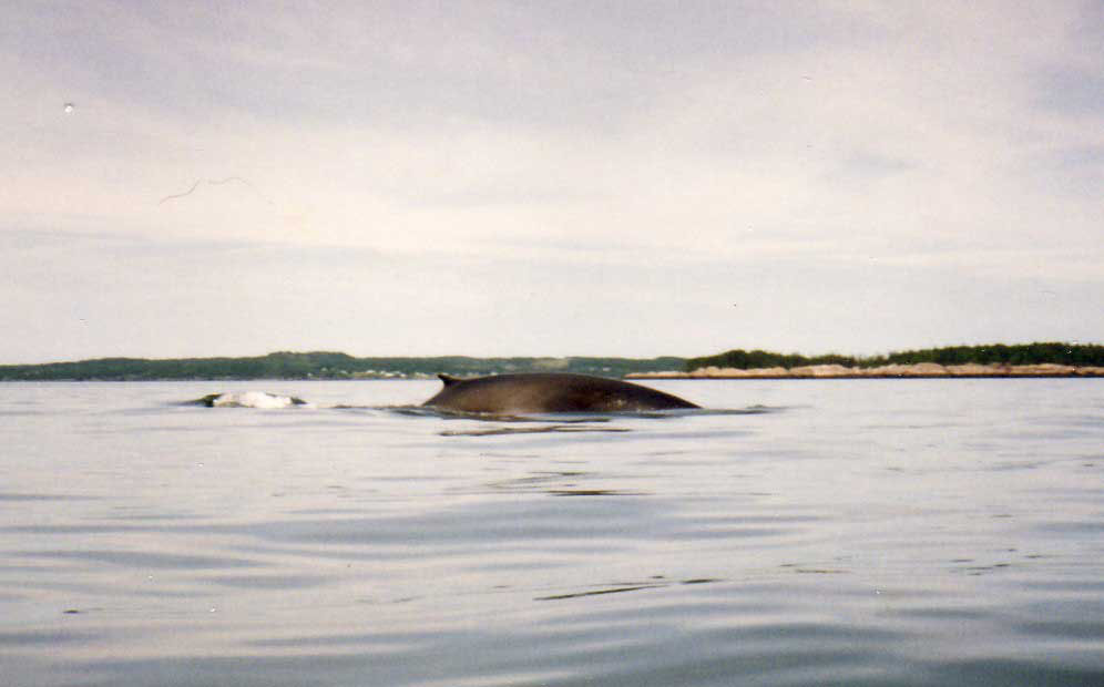 Finback whale seen from kayak