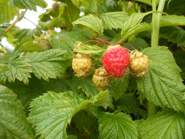 First of the early minerva raspberries