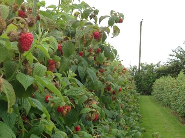 Raspberries for picking