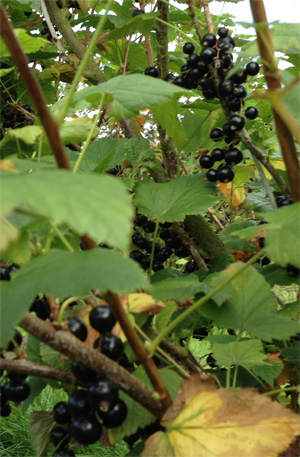 Blackcurrants growing on the bush