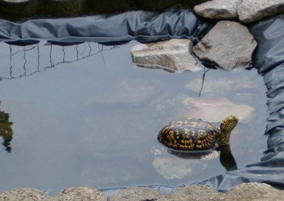 A backyard box turtle habitat can include a pond