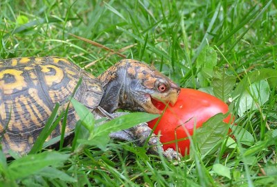 Eastern box turtle eating a tomato