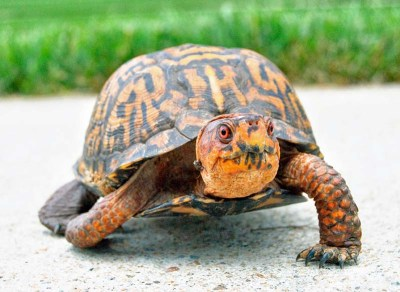 A curious box turtle
