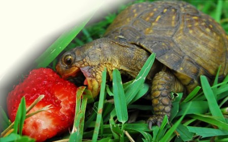 Box turtle eating strawberry