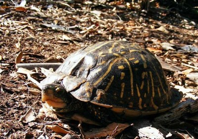 Box turtle basking in the sun. Basking helps turtles and other reptiles warm up.