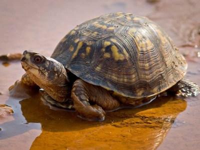 Eastern box turtle in mud
