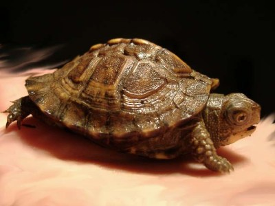 Juvenile Eastern box turtle, a member of Terrapene carolina, the common box turtle