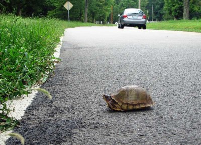 It's not usually a good idea to keep a wild box turtle, even one you saved from the middle of the road.