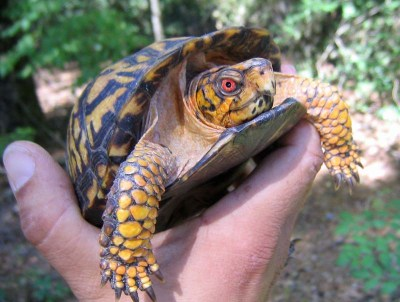 Box turtles can be fascinating pets, but not necessarily for young kids.