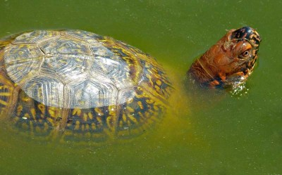 Giving your box turtle access to water is important to health.