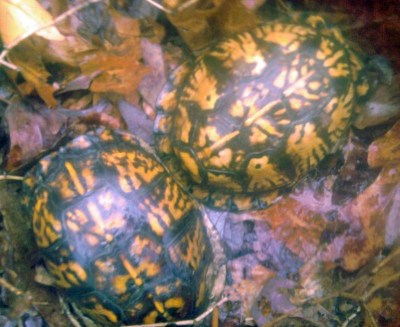 Housing Multiple Box Turtles Box Turtle World