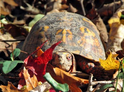 A boxie enjoying the day ... Every day is probably Box Turtle Day for him!
