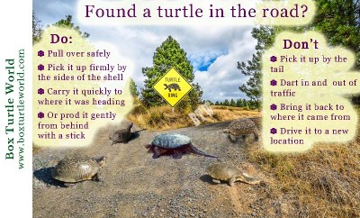 Do's & Don'ts if you find a turtle in the road