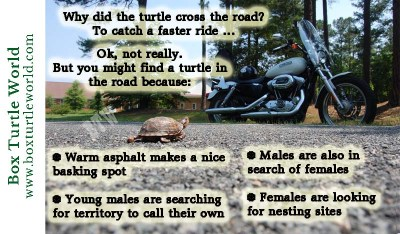 Why did the turtle cross the road? Many reasons!